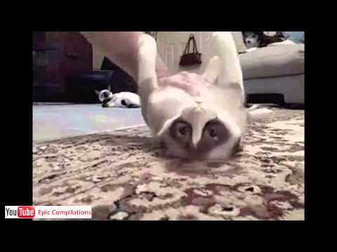 Epic Funny Cats / Cute Cats Compilation  –  60 minutes!! [HD][HQ]